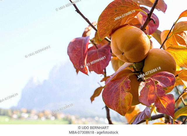 Apple tree in front of Romantik Hotel Turm, with a view of the Schlern area, Fiè allo Sciliar, Alpe di Siusi, Dolomites, South Tyrol, Italy