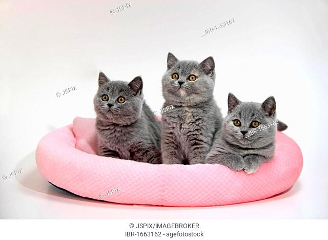 Chartreux, domestic cat, two kittens, ten weeks