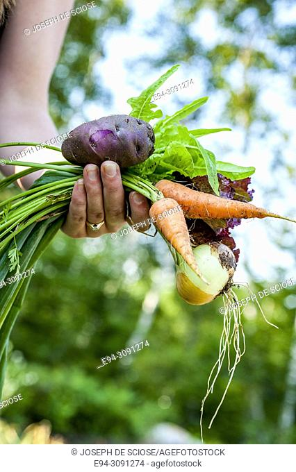 A partial view of woman gardener holding recently harvested vegetables from the garden