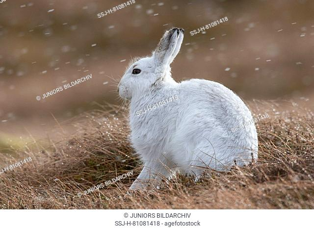 Mountain Hare (Lepus timidus) Adult in drifting snow. Cairngorms National Park, Scotland