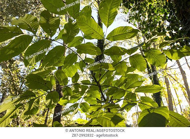 Autumn forest. Walnut tree(Juglans regia) and poplars. Almansa. Albacete province. Spain