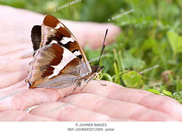 Brown butterfly on hand