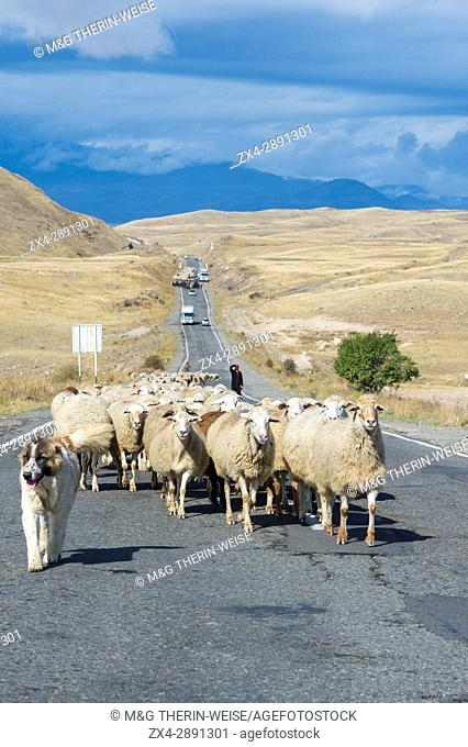 Shephard and Sheepdog conducting a group of sheep down a road, Tavush Province, Armenia