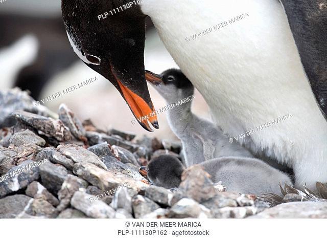 Gentoo Penguin Pygoscelis papua with chicks on nest in rookery at Port Lockroy, Antarctica