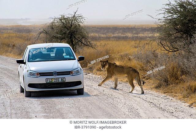 Lioness (Panthera leo) crossing the street next to a car, Etosha National Park, Namibia