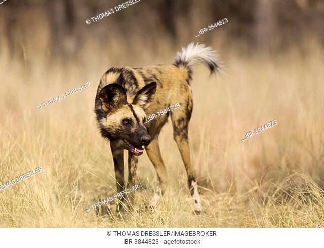 African Wild Dog (Lycaon pictus), aggressive behaviour, endangered species, captive, Harnas Wildlife Foundation, Namibia