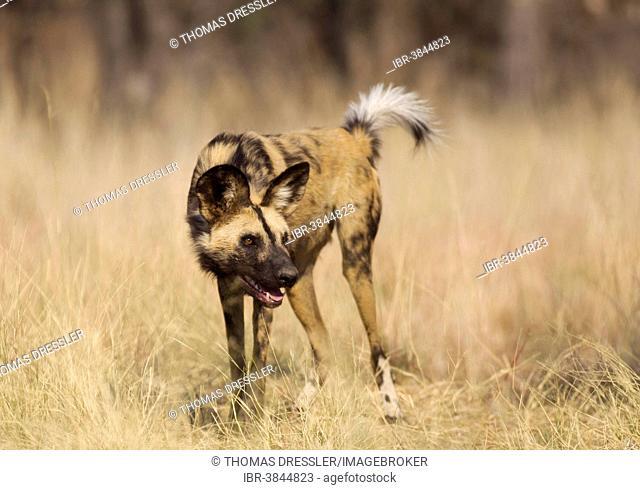 African Wild Dog (Lycaon pictus), aggressive behaviour, endangered species, captive, Harnas Wildlife Foundation, Namibia