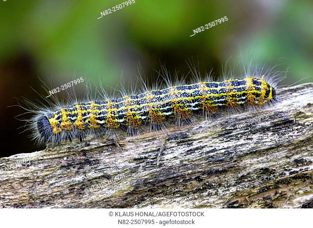 The beautiful caterpillar of the Buff-tip moth Phalera bucephala is a moth of the family of Notodontidae - Central Franconia, Bavaria/Germany
