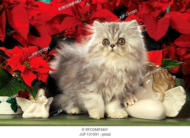 Persian kitten in front of flowers