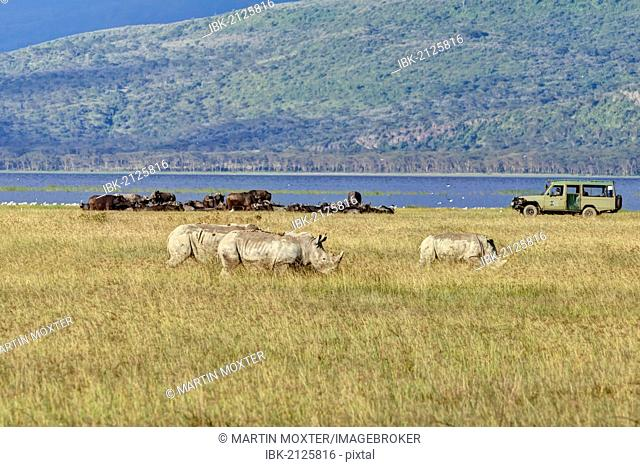 White Rhinoceroses or Square-lipped Rhinoceroses (Ceratotherium simum), adult animals in front of buffalo and an off-road vehicle, Lake Nakuru National Park