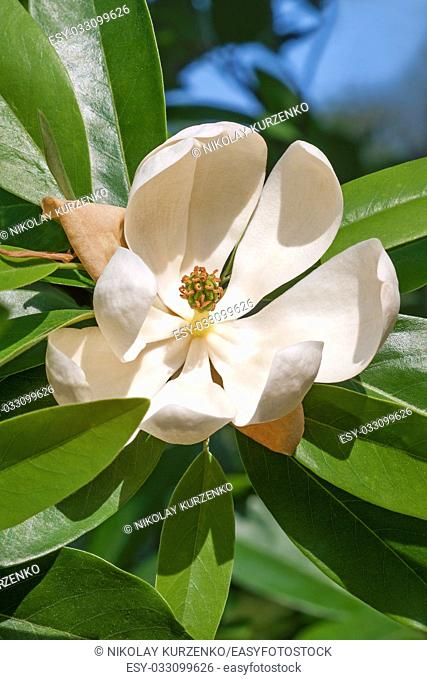 Sweetbay magnolia (Magnolia virginiana). Called Sweetbay, Laurel magnolia, Swampbay, Swamp magnolia, Whitebay and Beaver tree also