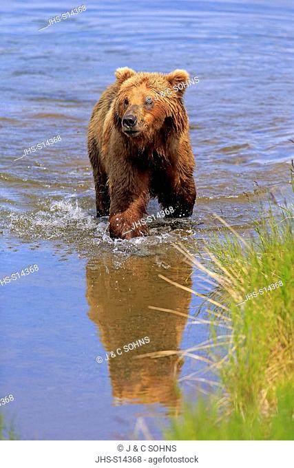 Grizzly Bear, (Ursus arctos horribilis), adult in water, Brookes River, Katmai Nationalpark, Alaska, USA, North America