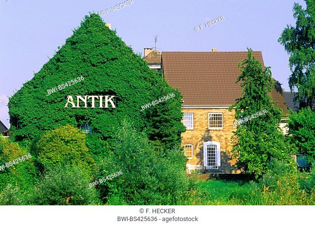 English ivy, common ivy (Hedera helix), greenery for building facades with ivy, Germany
