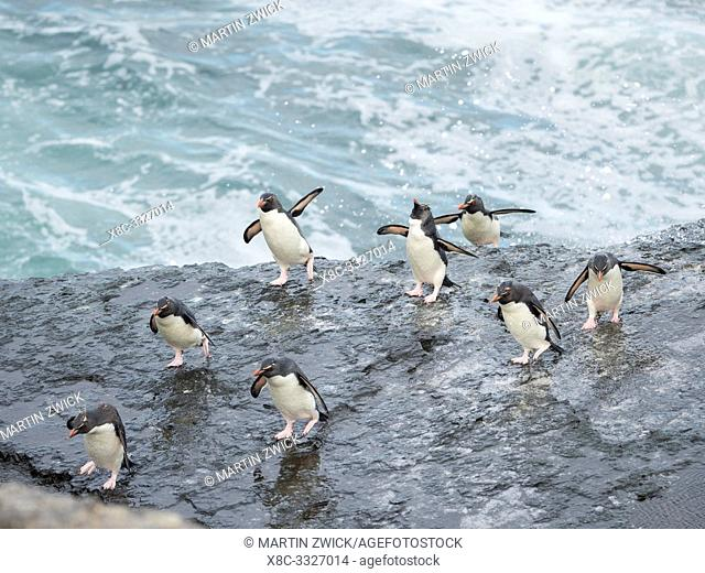 Coming ashore and climbing a steep cliff on Bleaker Island. Rockhopper Penguin (Eudyptes chrysocome), subspecies Southern Rockhopper Penguin (Eudyptes...