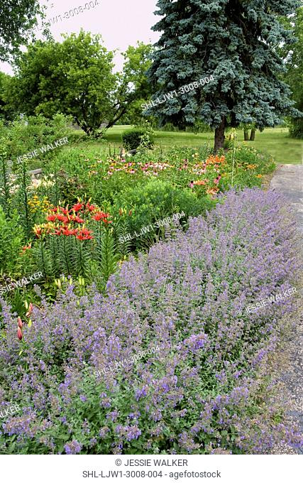 GARDEN: vertical shot, nepeta catmint edges the front of this border garden of lilies, coneflowers, Baptista: Starlight Prairie Blue, blue spruce