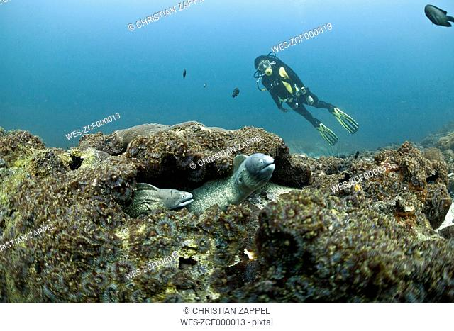Oman, Daymaniyat Islands, diver and white-eyed moray (Gymnothorax thrysoideus) in front
