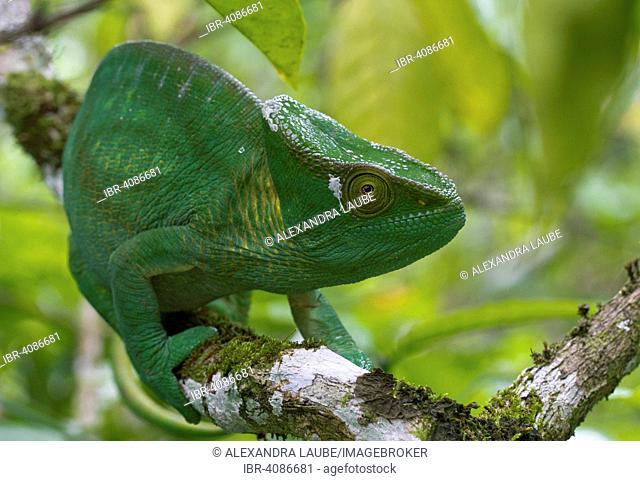 Parson's chameleon (Calumma parsonii parsonii), female, Vohimana Forest, eastern Madagascar, Madagascar