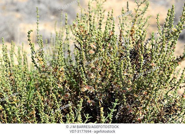 Mediterranean saltwort (Salsola vermiculata) is a shrub native to arids regions, southwestern Europe, north Africa and western Asia