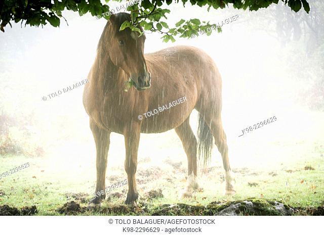 Horse under beeches, fagus Sylvaticus, Parque natural Gorbeia, Alava-Vizcaya, Euzkadi, Spain
