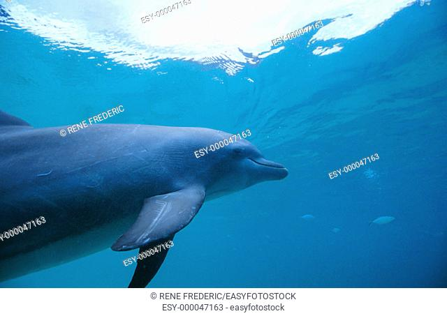 Bottlenose Dolphin (Tursiops truncatus). Honduras