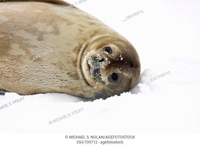 Weddell Seal (Leptonychotes weddellii) hauled out on ice on Usefull Island near the Antarctic Peninsula, southern Ocean. This is the most southerly breeding...