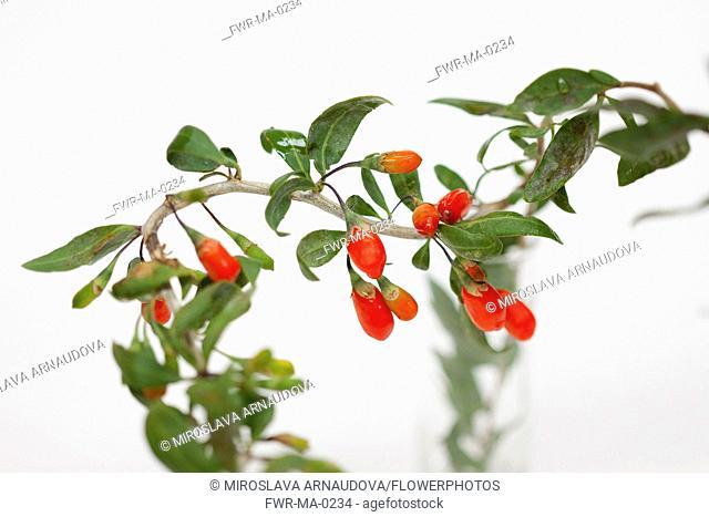 Wolf berry, Goji berry, Lycium barbarum, Studio shot of red berries
