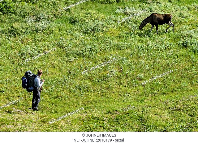 Hiker looking at elk
