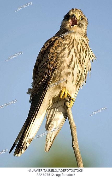 Eurasian Kestrel (Falco tinnunculus), female perched on branch. Toledo province, Castilla-La Mancha, Spain