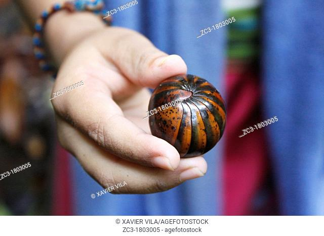 Gloméris in the hand of a child, Malaysia