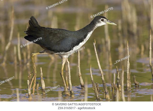 White-breasted Waterhen (Amaurornis phoenicurus), juvenile walking in a swamp, Khawr Jirama,Ash Sharqiyah South Governorate, Oman