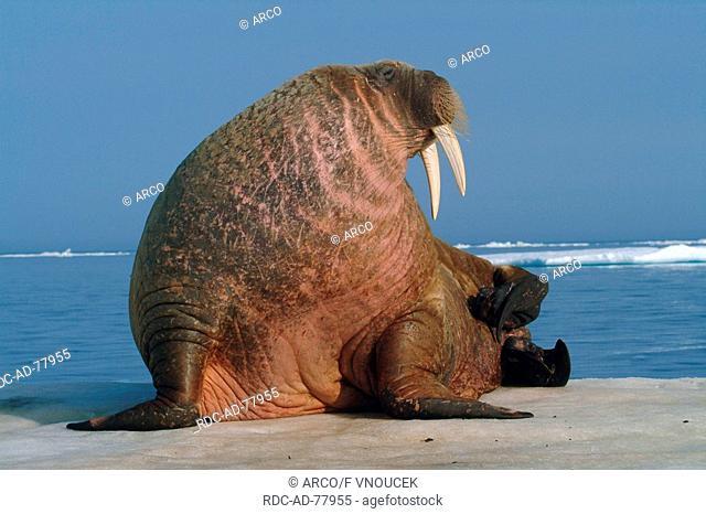 Walrus on ice floe Nunavut Territory Canada Odobenus rosmarus Arctic
