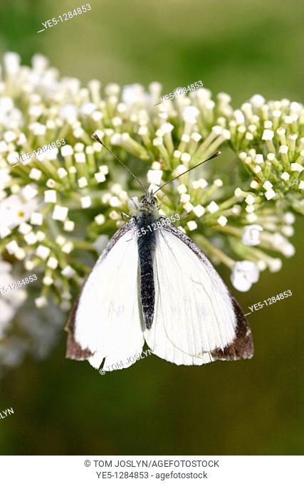 Small white butterfly Artogeia rapae on buddleia davidii, England, UK