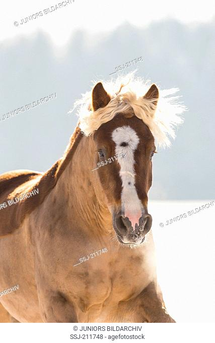 Black Forest Horse. Portrait of chestnut gelding with clipped coat. Germany