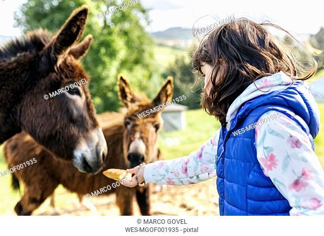 Little girl feeding donkeys