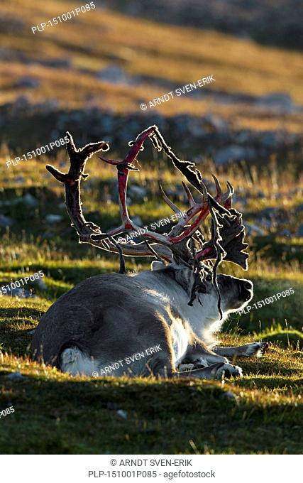 Svalbard reindeer (Rangifer tarandus platyrhynchus) male shedding velvet from antlers lying on the tundra, Svalbard / Spitsbergen, Norway