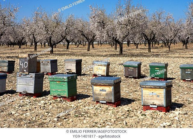Apiary between Almond Trees  LLeida, Spain