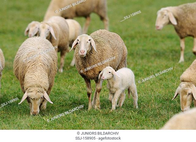 Domestic sheep - sheep with lamb on a meadow / Ovis orientalis