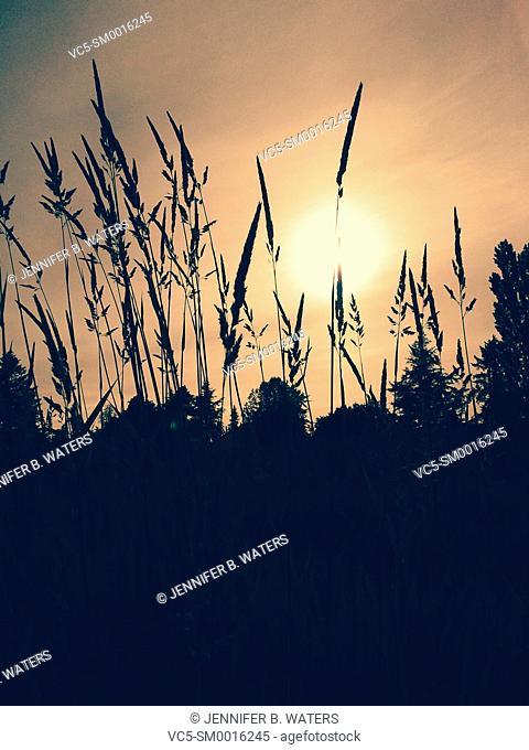 Backlit grass growing in Washington State, USA