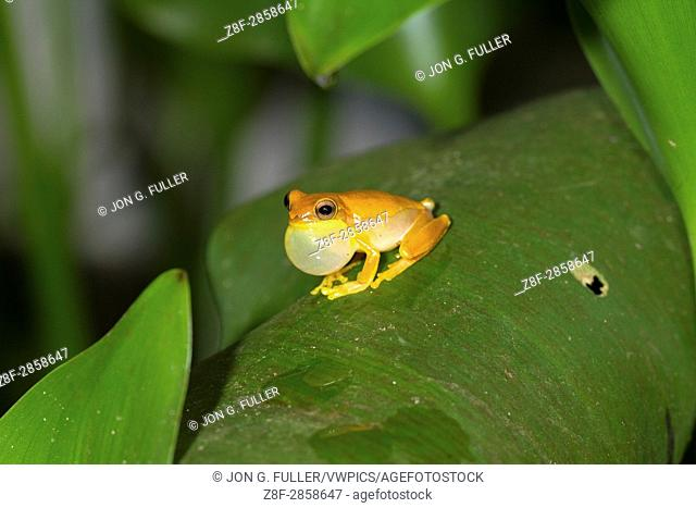 The Small-headed Treefrog, Dendropsophus microcephalus, is a widespread tree frog found in tropical rainforests from Mexico to Brazil
