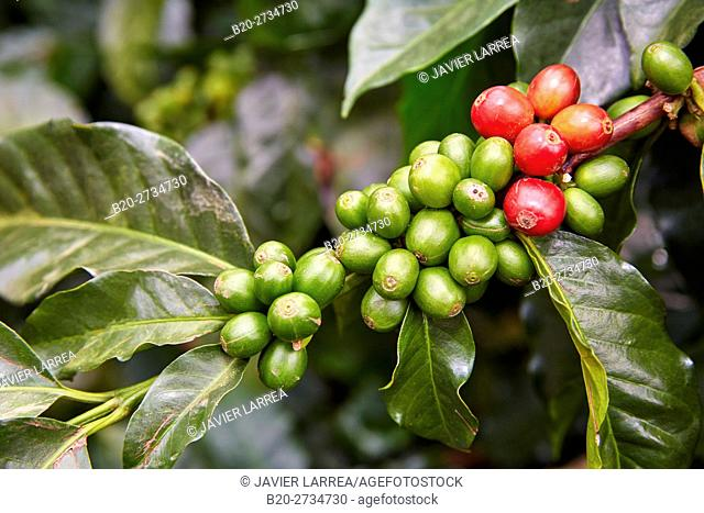 Cafetal, Coffee plantations, Coffee Cultural Landscape, Buenavista, Quindio, Colombia, South America