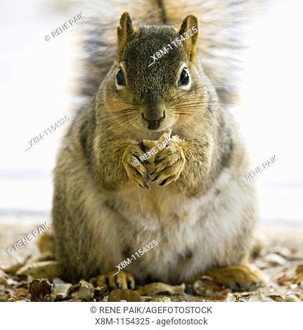 Nursing Fox Tree Squirrel (Sciurus niger) closeup