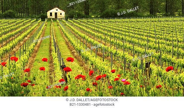 Vineyard near Quinsac, Entre Deux Mers wine area, in the Bordeaux wines district, Gironde, Aquitaine, France