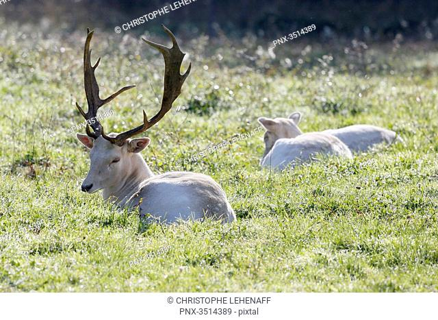 France, Burgundy, Yonne. Area of Saint Fargeau and Boutissaint. Slab season. Young white stags in a meadow