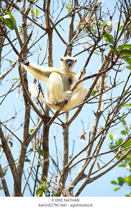 Golden-crowned Sifaka Propithecus Tattersalli in the trees of the Daraina Reserve in northeast Madagascar