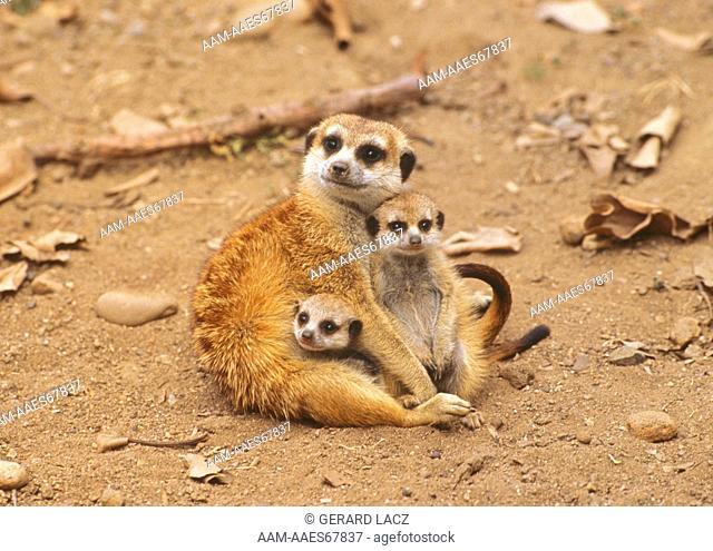 Meercats (Suricata suricata)