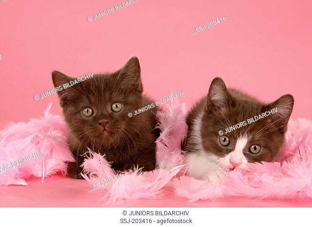 British Shorthair, BKH. Two kittens lying between pink feathers. Studio picture against a pink background. Germany
