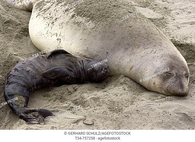 Northern Elephant Seal with Baby sleeping, Mirounga angustirostris, San Simeon, California, USA