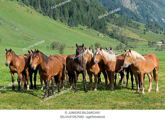 Noriker Horse. Herd of juveniles standing on an alpine meadow. Rauris Valley, Austria
