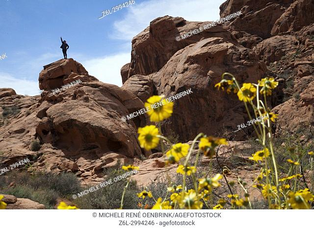yellow wildflower flowers at Valley of Fire Las Vegas Nevada