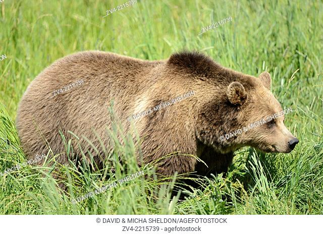 Close-up of a brown bear (Ursus arctos) standing in a meadow in spring